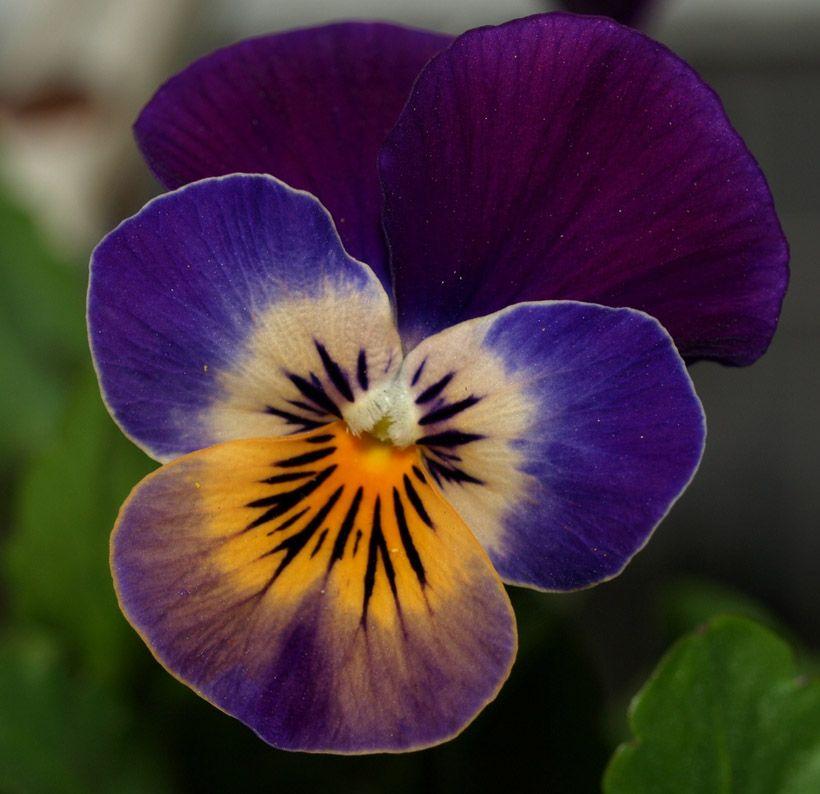 Pansy Pixdaus Pansies Pansies Flowers Tribute Tattoos