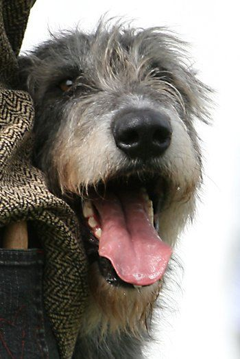 Pin By Barb Varney On Dogs With Images Irish Wolfhound Wolfhound Irish Dog