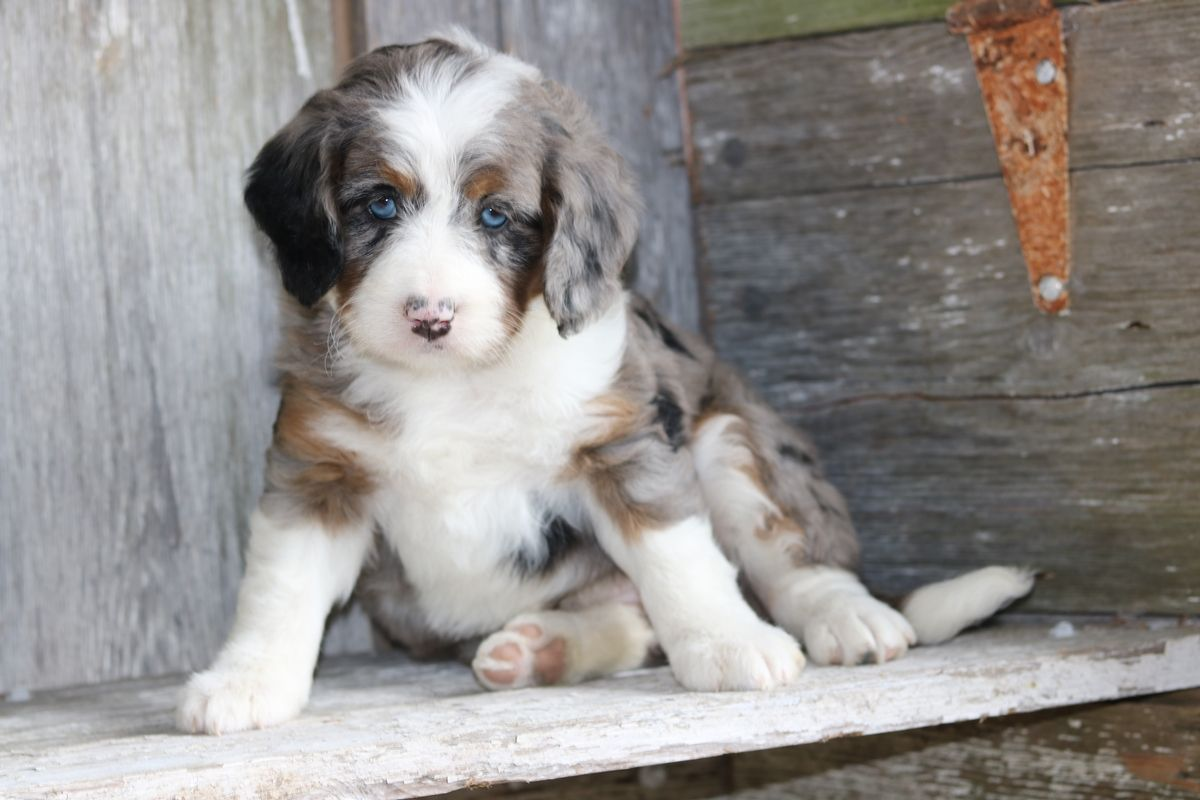 Merle Bernedoodle Mini Female Bernedoodle Puppy Bernedoodle Cute Dogs