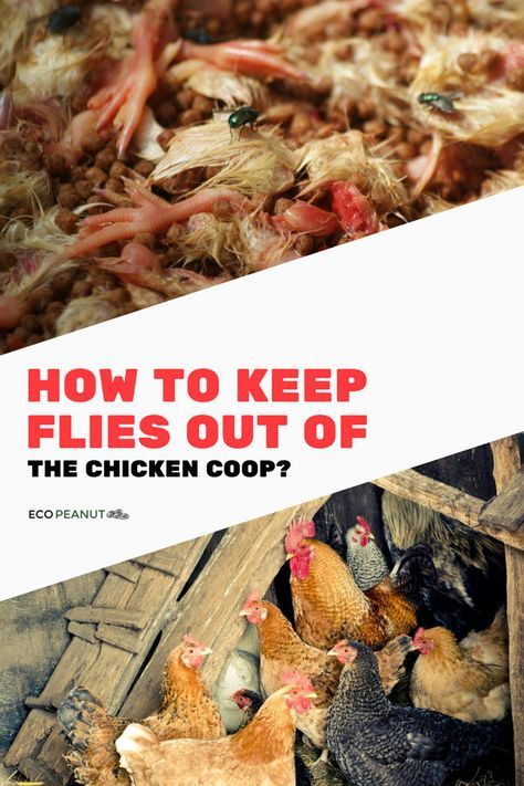 How To Keep Flies Out Of The Chicken Coop - Eco Peanut ...