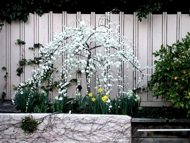 Weeping Santa Rosa Plum Ultra Dwarf Patio Tree Spring Blooms