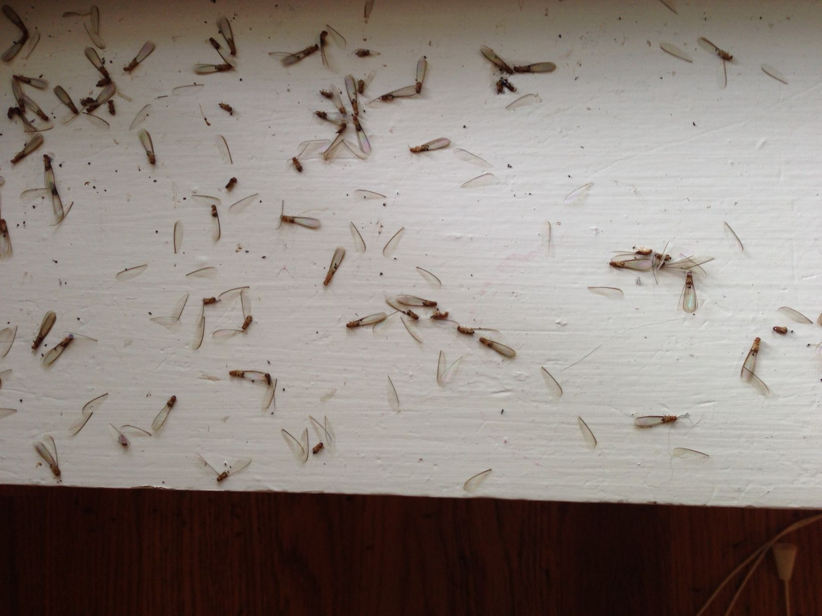 Drywood termite swarmers they are attracted to light