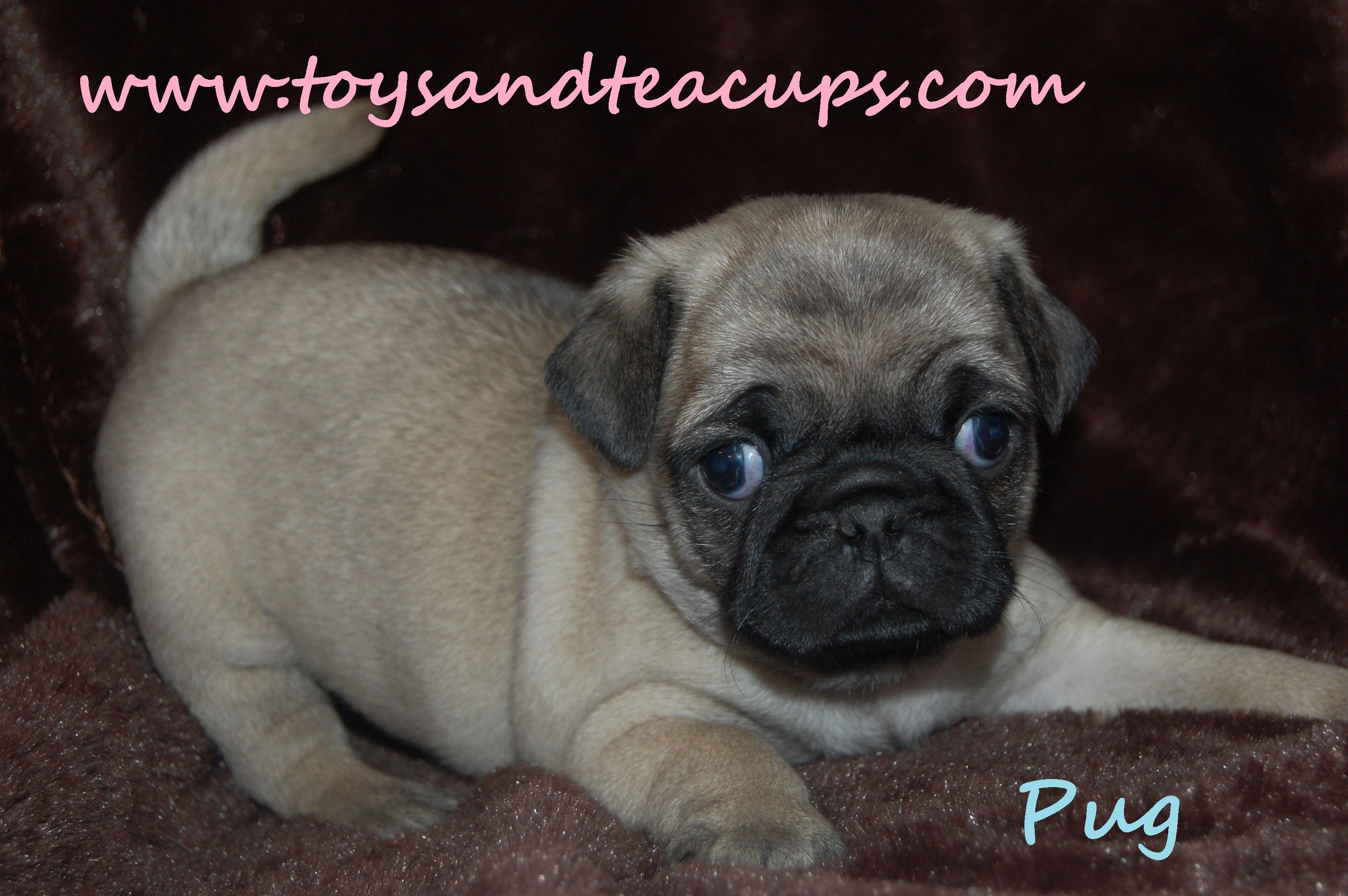 Pug Puppies For Sale 450 00 Www Toysandteacups Com Call
