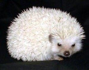 Black Eyed White Male Awesome Hedgehog Pet Baby Hedgehog Pygmy Hedgehog