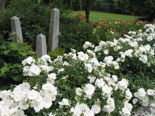 foto de Wedding Dress groundcover rose Ground cover roses Landscaping with rocks White gardens
