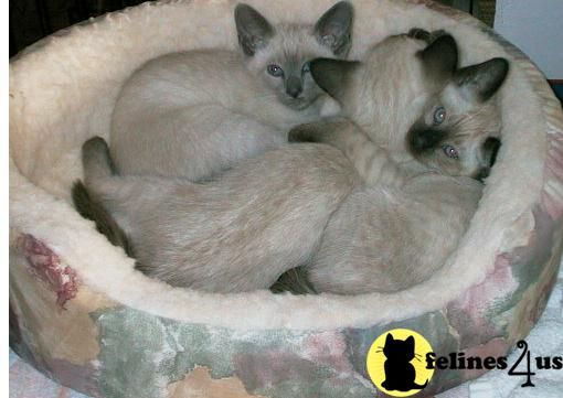 Siamese Kittens Due In Vermont 150 Each Siamese Kittens For