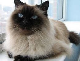 Beautiful Longhair Seal Point Siamese Kitty Cats Himalayan Cat Fancy Cats