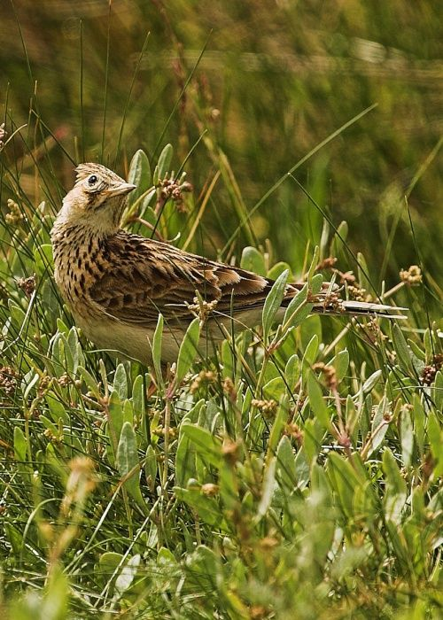 Image result for skylark over a Norfolk saltmarsh