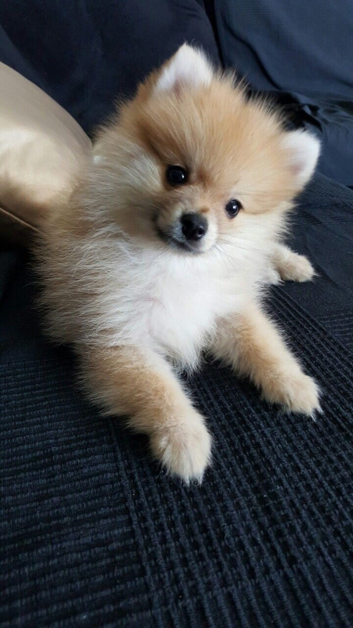 Dog Names Cute Names For Your Male Or Female Puppy Pomeranian Puppy Pomeranian Cute Puppies