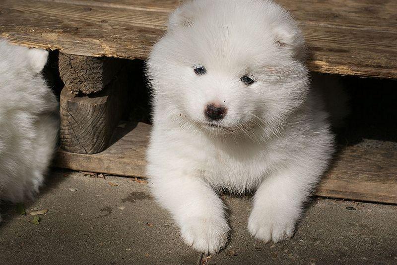 Laikha 5 6 Weeks Old Puppies Samoyed Cute Animals