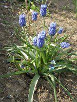 Blauwe druifjes - Muscari botryoides