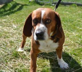 Adopt Juke On Adoptable Beagle Beagle Dog Dogs