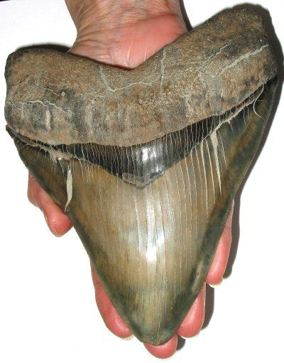 3 12 Fossil Megalodon Shark Tooth