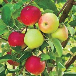 Double Delicious 2 In 1 Apple Tree Get Two Apple Varieties On One Tree Liberty Ripens In Early October While Sundance Matures In Apple Tree Fruit Trees Apple