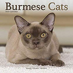 Pin On Burmese Cats