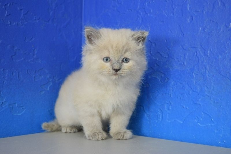 Garth Blue Colourpoint Mink Male Ragdoll Kitten Ragdoll Kitten Ragdoll Cute Cats
