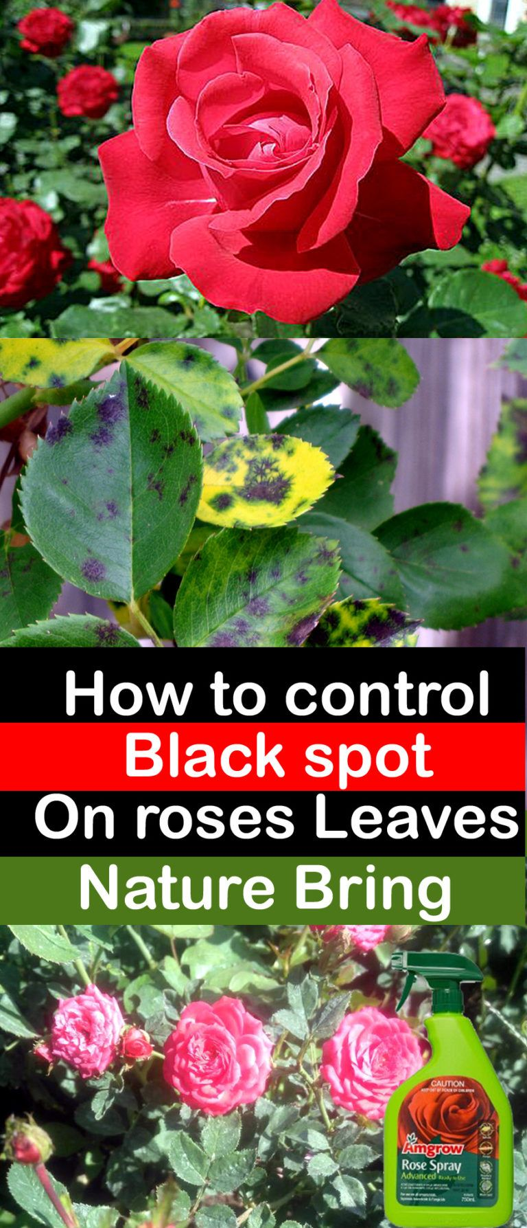 How to control Black spot on the rose leaves is part of Black spot on roses, Rose plant care, Black spot, Rose care, Organic fungicide, Planting roses - Black spot on rose Leaves Black spot on rose leaves is the most common disease, and if this is not given attention, then it spread with time and becomes uncontrolled  This leads to considerable loss o