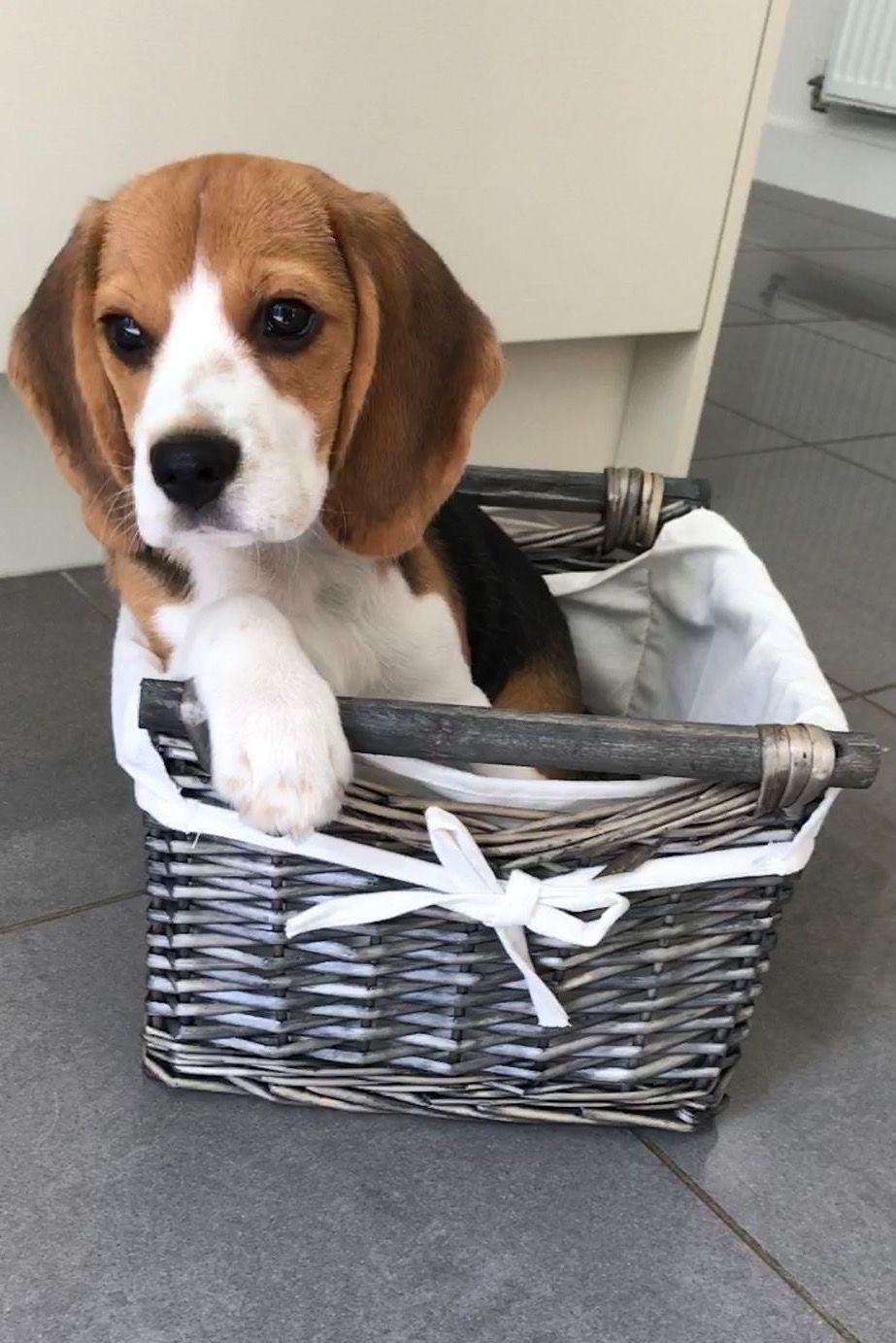 Beagle In A Basket Photo Dj On Pinterest Com Beagle