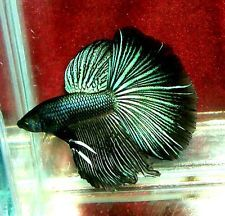 ABSOLUTELY STUNNING BLACK ORCHID male betta live