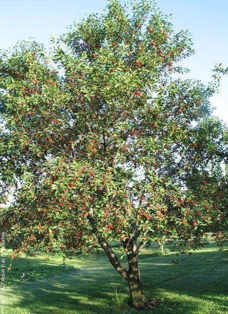 Montmorency Cherry Sour Cherries Edible Landscaping Japanese Tea House Kitchen Garden