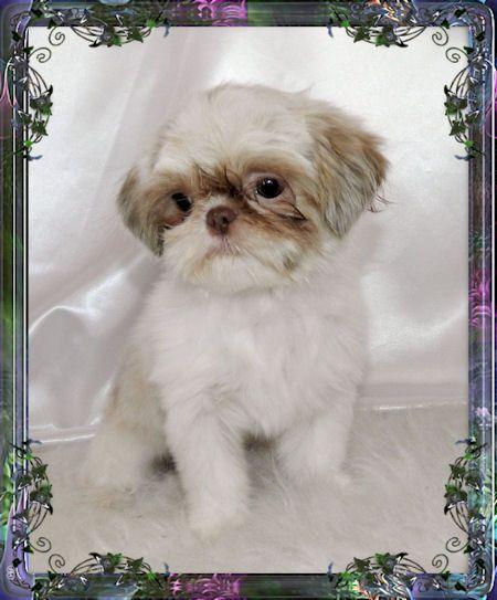 Tiny Chinese Imperial Shih Tzu Female Puppies For Sale Available Pups Imperial Shih Tzu Shih Tzu Shih Tzu Puppy