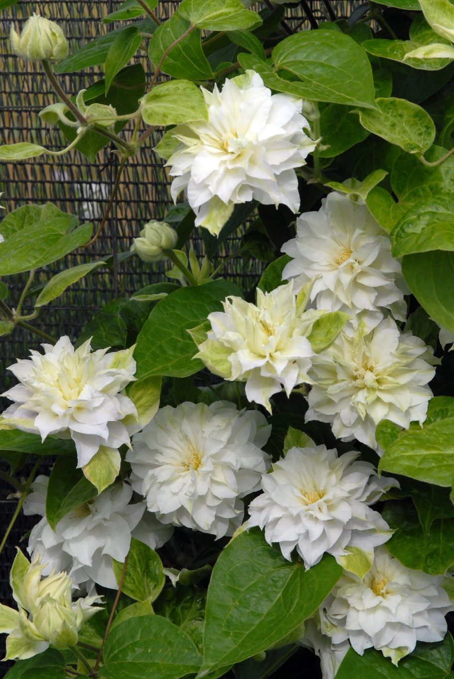 Madame Maria Clematis Sp Flowering Vines Pinterest Clematis
