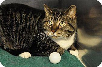 Westampton, NJ - Domestic Shorthair. Meet C-57969 Hoover a Cat for Adoption.