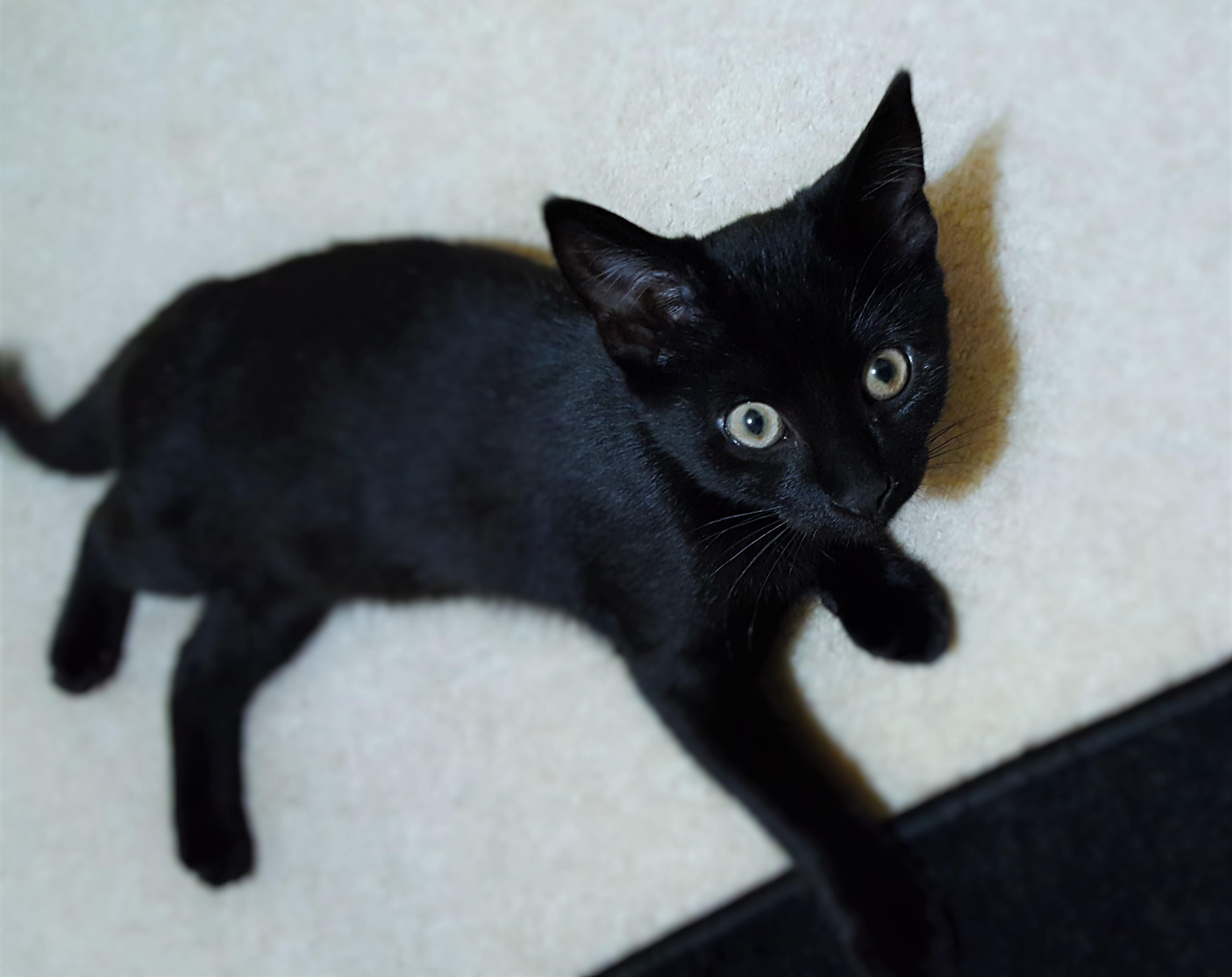 Just A Little Kithttps I Redd It R2aynzjofyp01 Jpg Puppies And Kitties Black Kitten Cute Animals