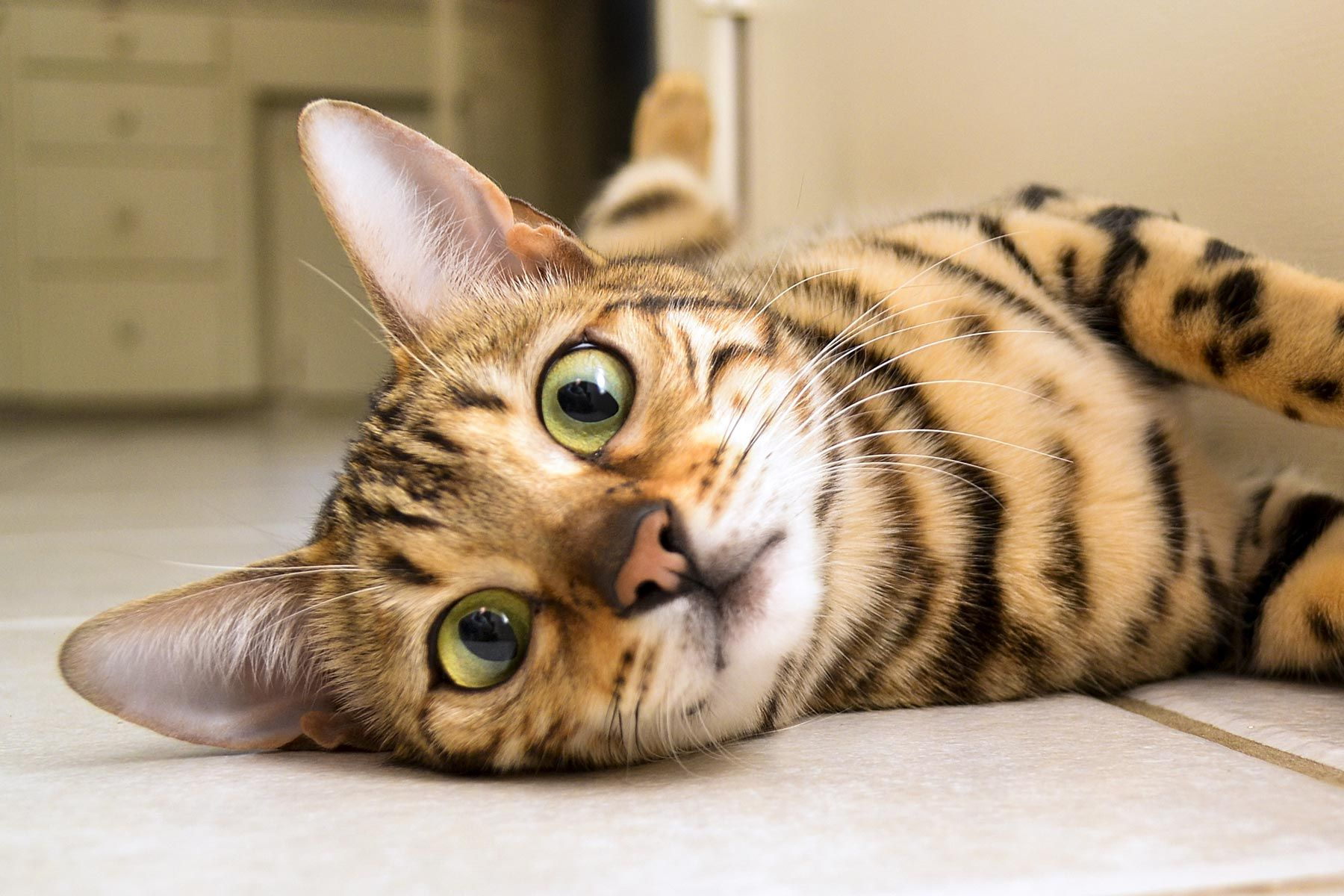 Bengal Cats In Nyc Bengal Cat Bengal Cat Cost Cats