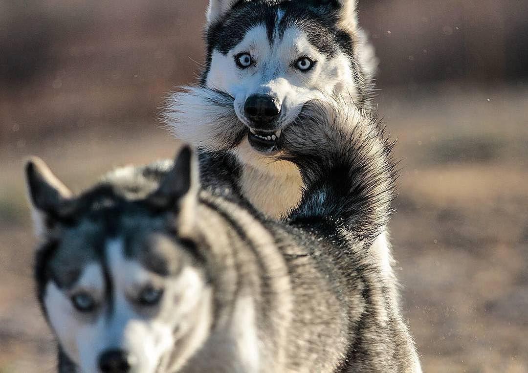 Comment Eduquer Son Chien En Seulement 15 Mins Par Jour Petohaku A Pour But De Vous Donner Tous Les Outils Pour Vous Former Siberian Husky Husky Husky Breeds
