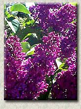 Purple Lilacs: Agincourt Beauty; Albert Holden; Charles Jolly; Chinese; Ludwig Spaeth; Monge; My Favorite; Vesper