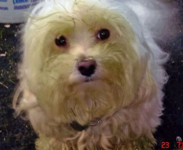 My Maltese after coming home from groomer decided to rub himself in the freshly mowed lawn.