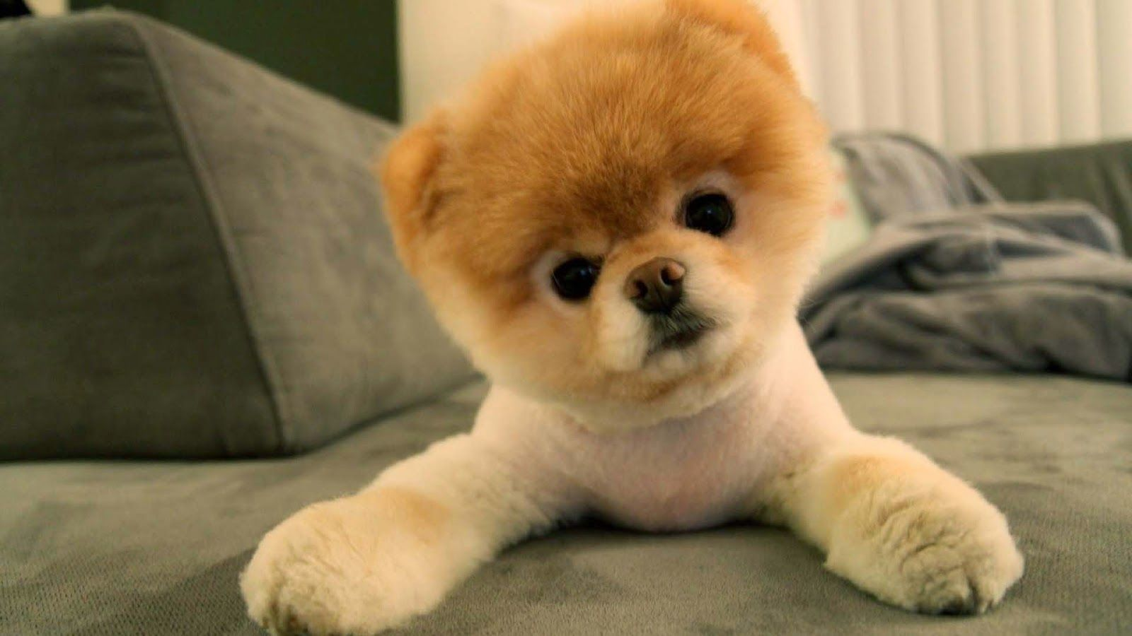 Cute Pomeranian Puppies Wallpaper Image Funny Dog Videos Boo
