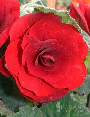 Scarlet Begonias Beautiful Flowers Begonia Fall Flowers