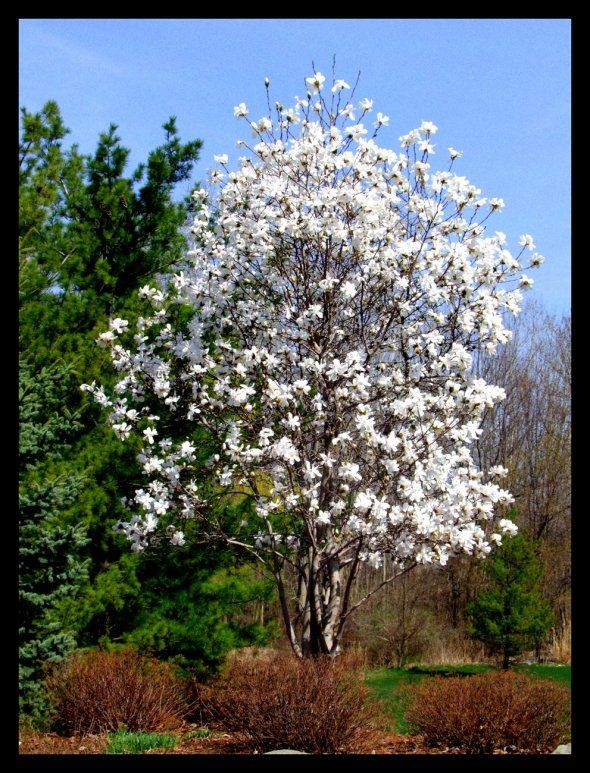 Image Detail For Magnolia Trees And The Different Magnolia