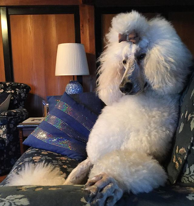 Is Your Poodle Smarter Than You Poodle Big Dogs Dog Lovers