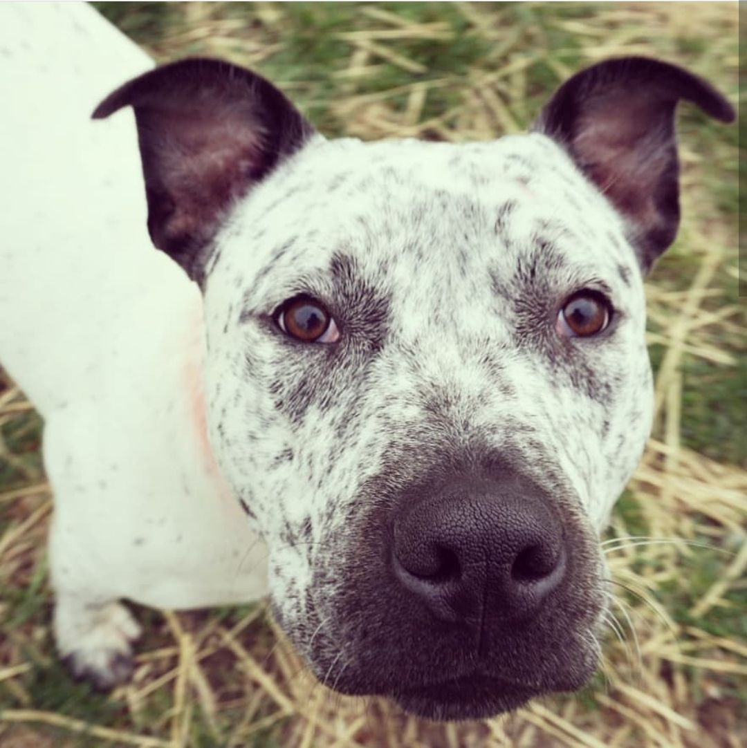 Adopt Speckles on American bulldog mix, German