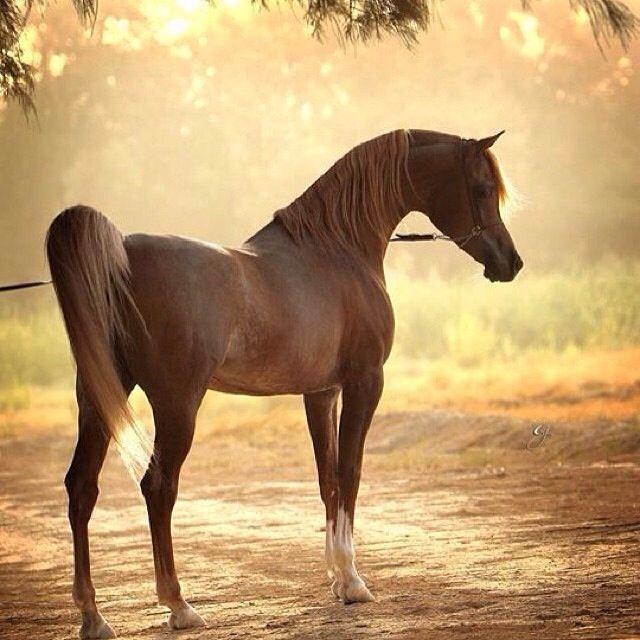 Horse خيل Beautiful Horses Horses Arabic Horse