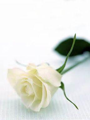 Single White Rose White Roses Beautiful Roses