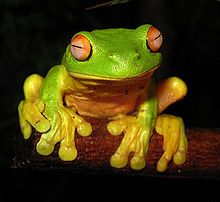 The Red-eyed Tree Frog (Litoria chloris) is a species of tree frog native to eastern Australia.
