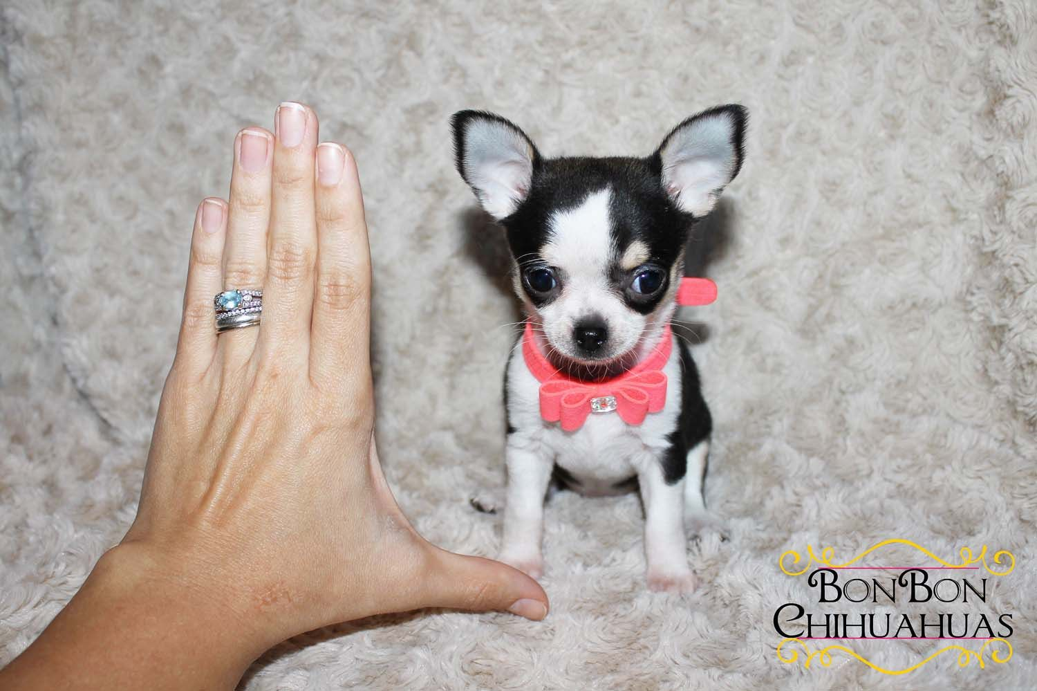 Chihuahua Dog Breeder Subs 55452 In Tracy California Usa On