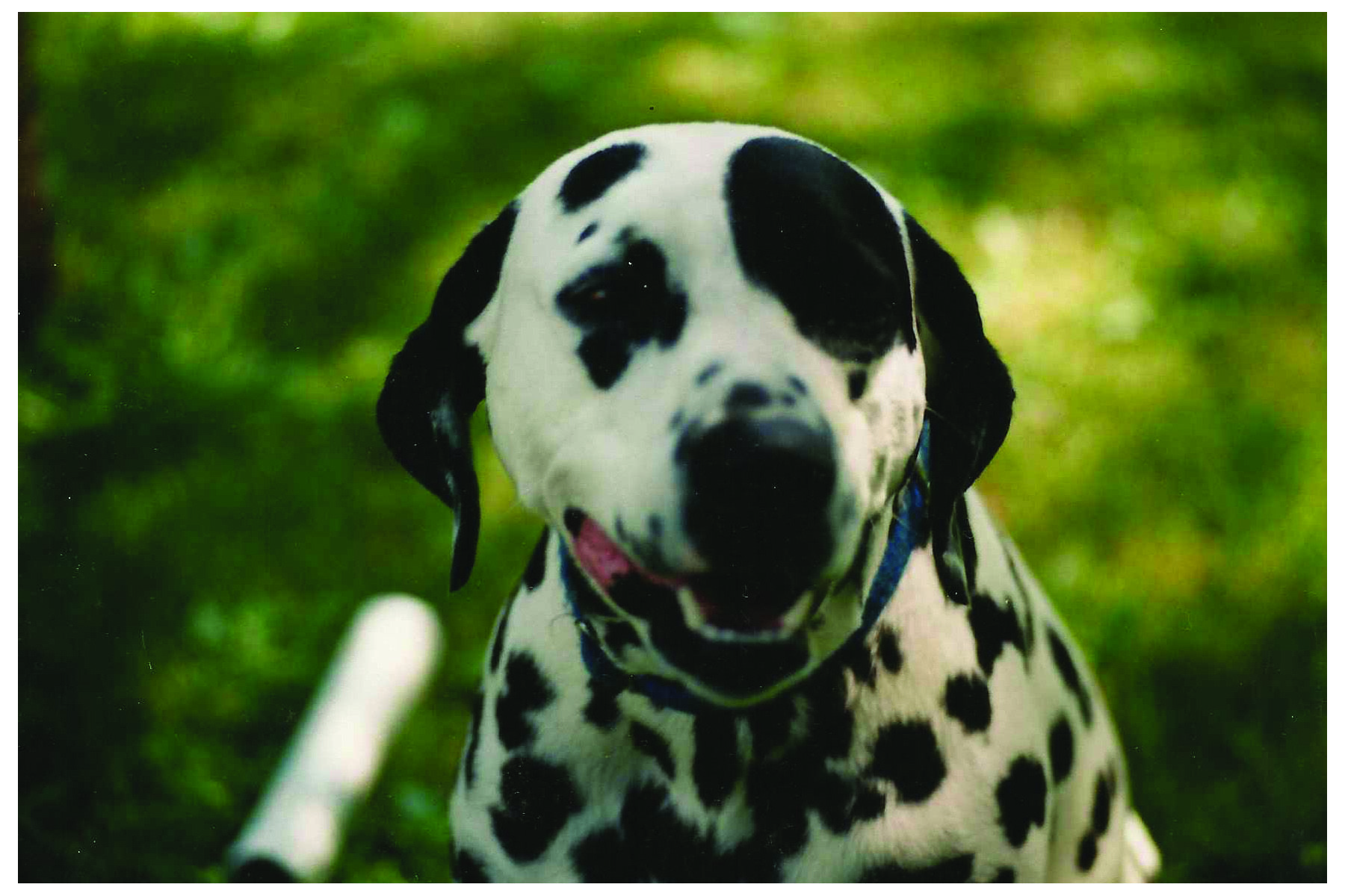 My dalmatian Patch. I had her as kid and miss her. I would definitely love to have another in our family.