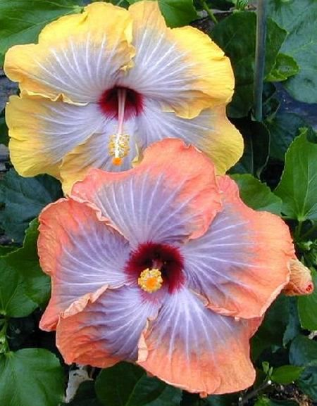 Hidden Valley Hibiscus Fifth Dimension Twins Two Separate