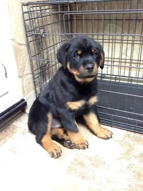 Absolutely Beautiful Rottweiler Male Puppy Very Nice Dark Red