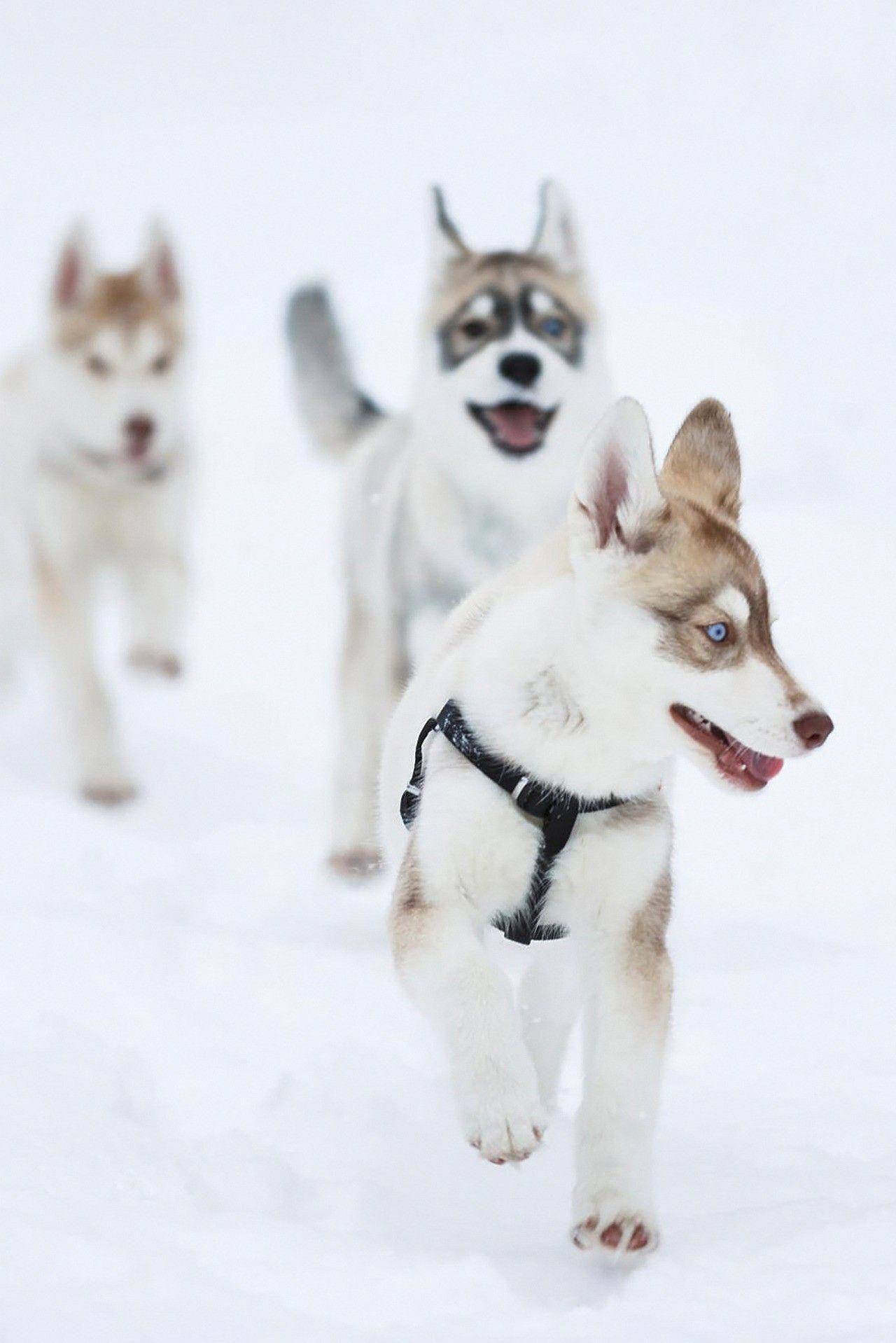 Siberian Husky Facts Siberian Husky Siberian Husky Dog