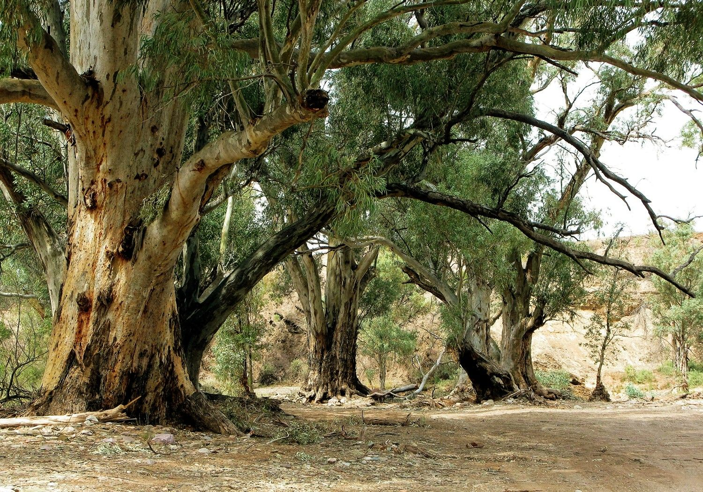 Gum Trees in The Flinders Ranges Australia landscape