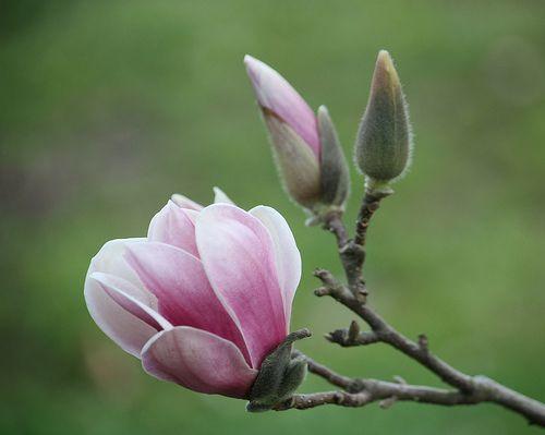 Light Pink, Japanese Magnolia, Tulip Tree Bloom ... 3-18-10