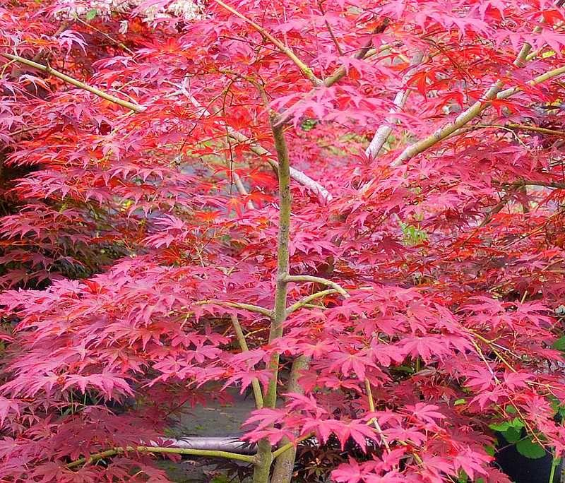 foto de Erable du Japon shojo nomura Jardin japonais Beaux