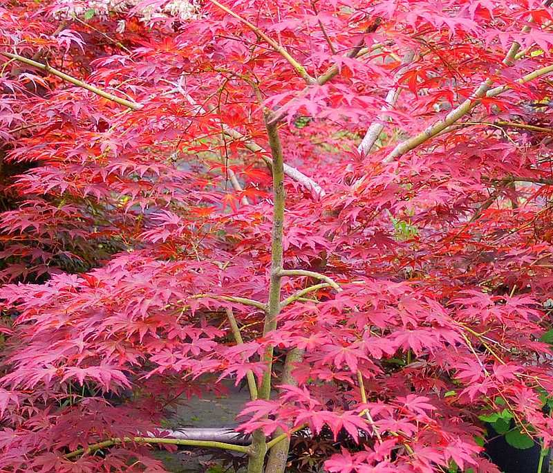 Erable du japon shojo nomura plantes pinterest erable du japon erable et le japon - Arbre rose japon ...
