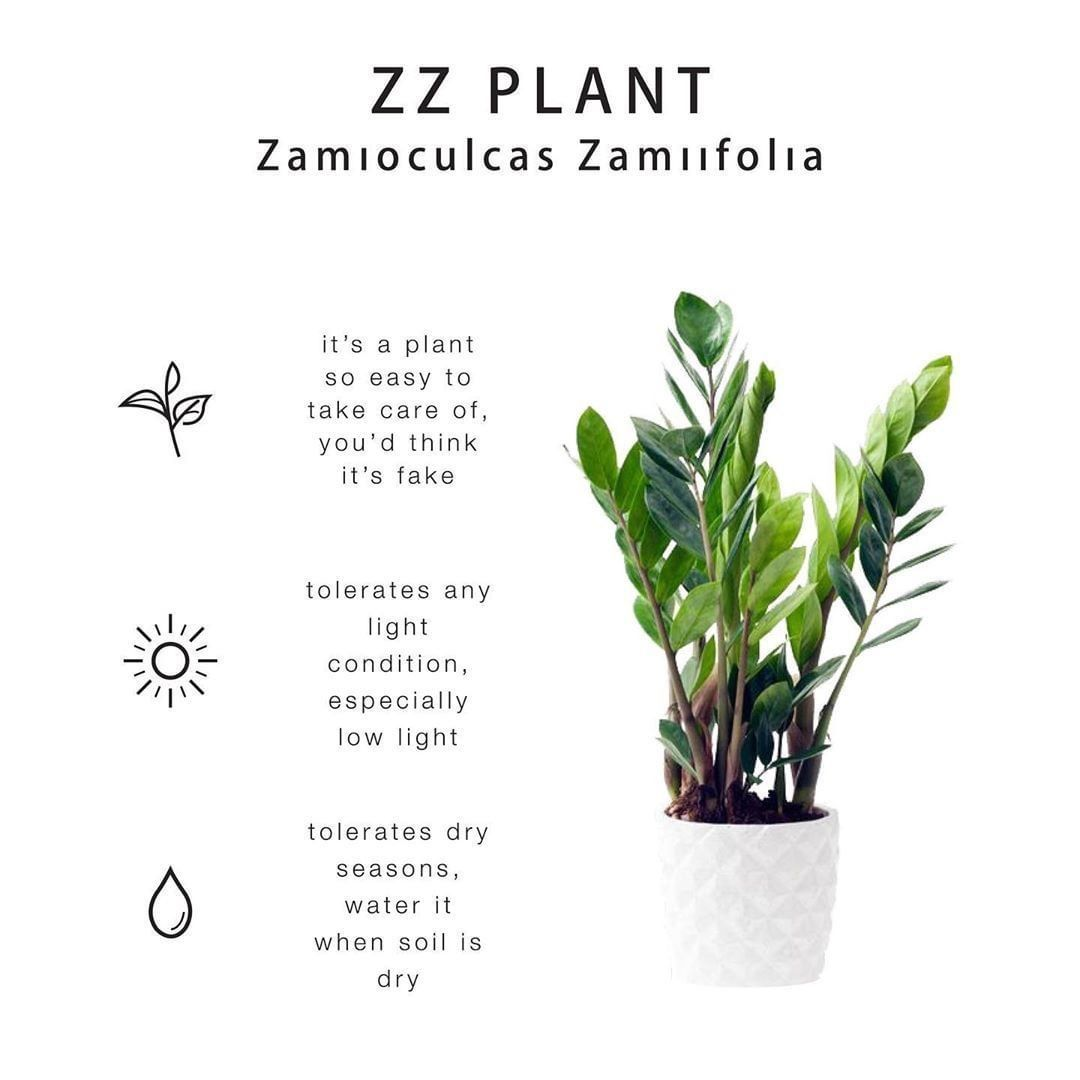 "Pointless Plants on Instagram: ""Zoe the Zz plant! You can ... on Zz Plant Care  id=49743"